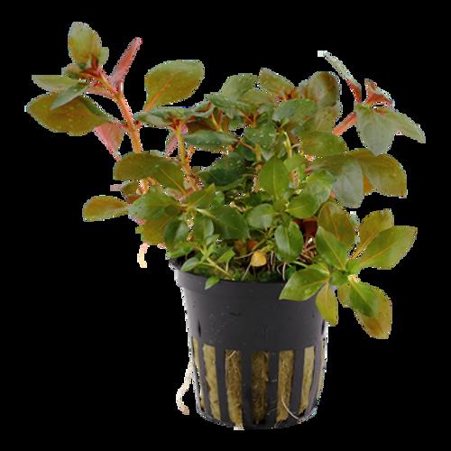 Ludwigia Repens Rubin (Tropica Potted Plant)