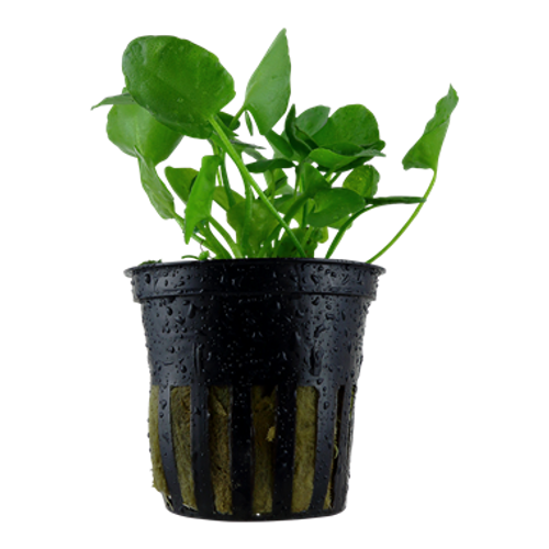 Nymphoides Hydrophylla Taiwan (Tropica Potted Plant)