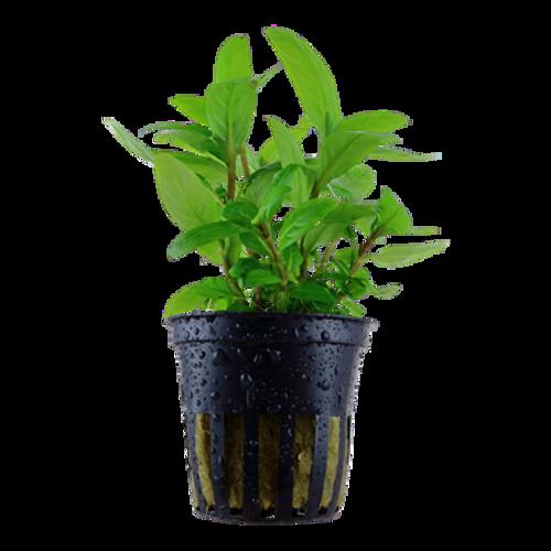 Staurogyne Repens (Tropica Potted Plant)
