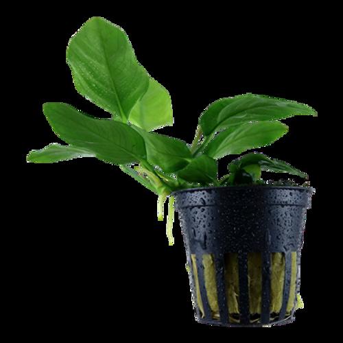 Anubias Barteri var Nana (Tropica Potted Plant)