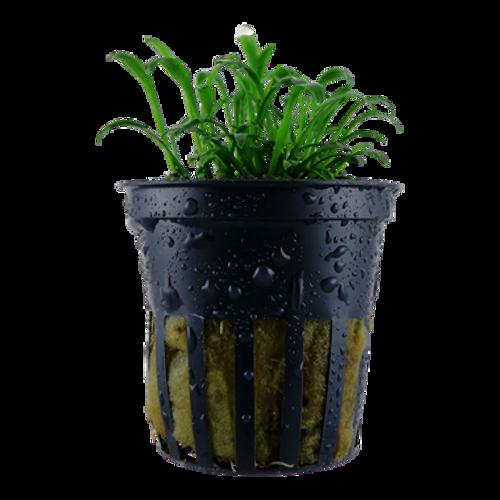 Cryptocoryne Parva (Tropica Potted Plant)