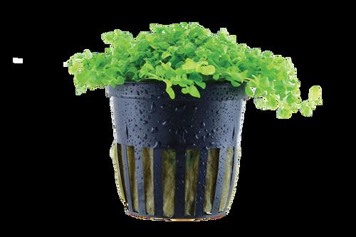 Micranthemum Tweediei 'Monte Carlo' (Tropica Potted Plant)