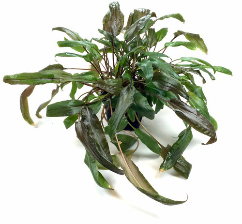 Cryptocoryne Wendtii Brown - Mother Plant (GLA Potted Plant)