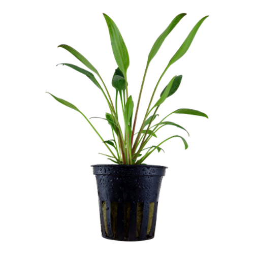 Cryptocoryne X Willisii (Tropica Potted Plant)