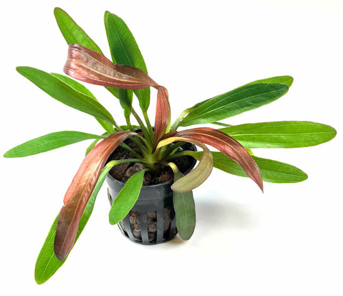 Echinodorus Horemanii Red (GLA Potted Plant)