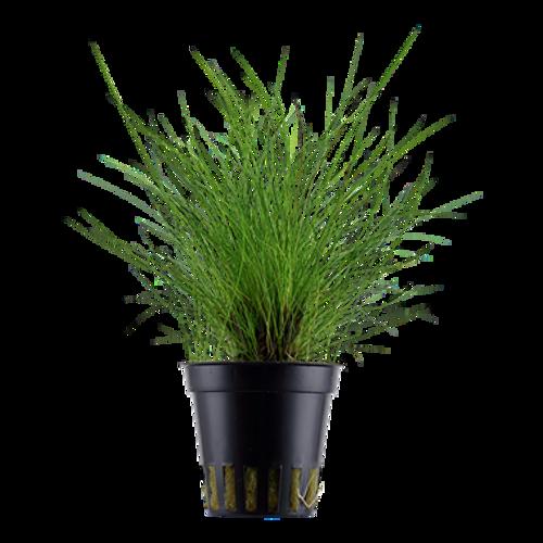 Eleocharis Parvula (Tropica Potted Plant)