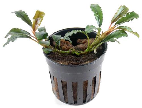 Bucephalandra Artemis (GLA Potted Plant)