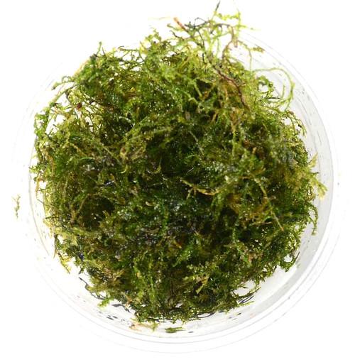 Taxiphyllum Barbieri Java Moss (GLA Portion)