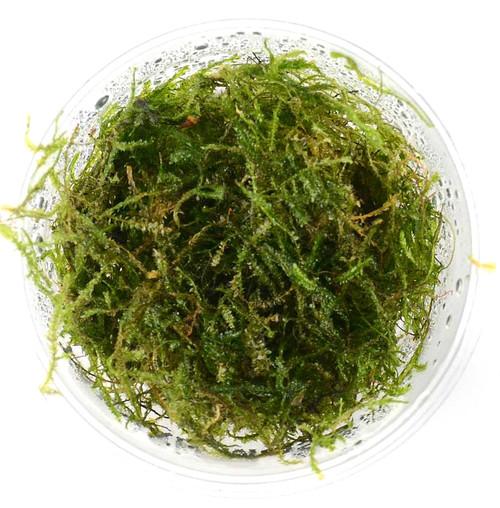 Taxiphyllum Taiwan Moss (GLA Portion)
