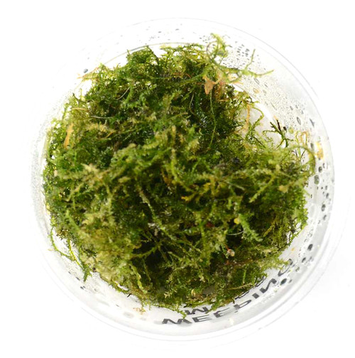 Vesicularia Ferriei Weeping Moss (GLA Portion)