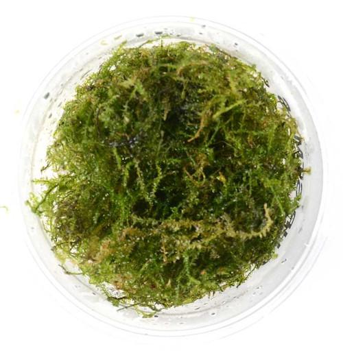 Vesicularia Montagnei Christmas Moss (GLA Portion)