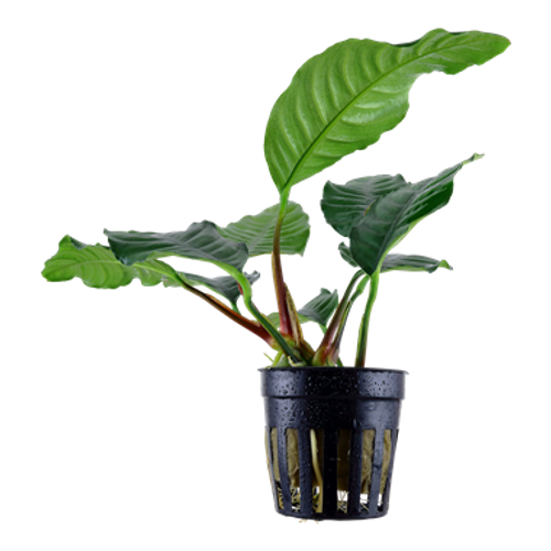 Anubias Barteri Coffeefolia (GLA Potted Plant)