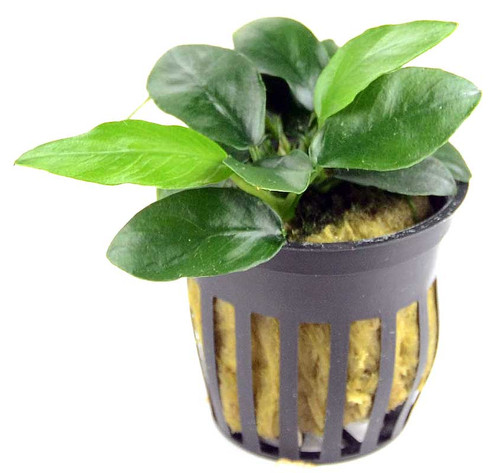 Anubias Barteri var Nana Narrow Leaf (GLA Potted Plant)