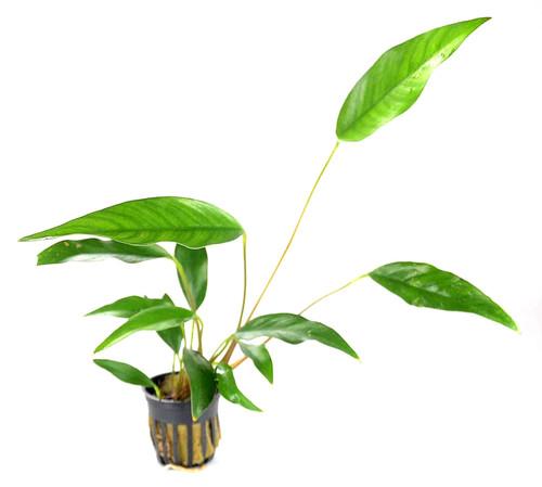 Anubias Frazeri (GLA Potted Plant)