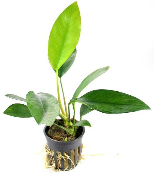Anubias Nancon (GLA Potted Plant)