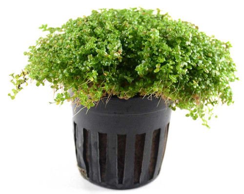 Hemianthus Callitrichoides Baby Tears Dwarf (GLA Potted Plant)