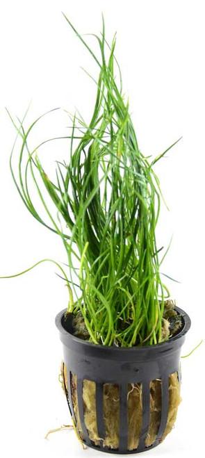 Lilaeopsis Mauritiana Micro Sword Narrow Leaf (GLA Potted Plant)