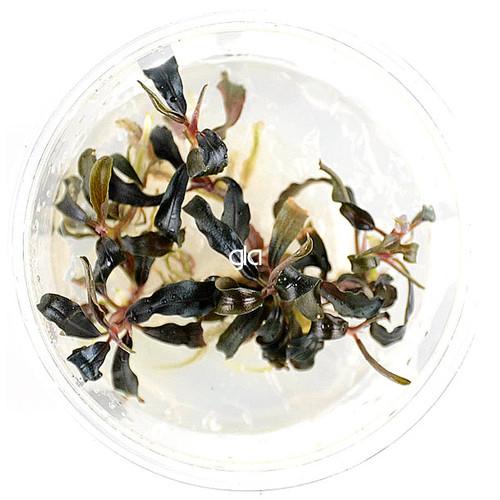 Bucephalandra Kedekang Mini Round (GLA Tissue Culture)