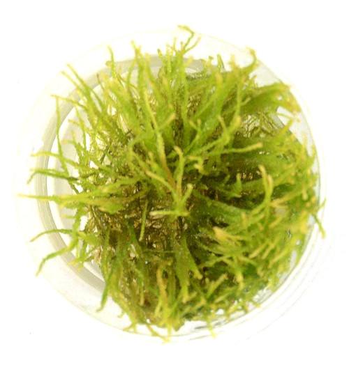 Vesicularia Ferriei Weeping Moss (GLA Tissue Culture)