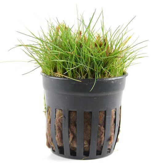Eleocharis Acicularis Mini Dwarf Hairgrass (GLA Potted Plant)