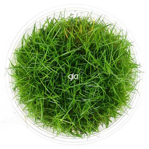 Eleocharis Acicularis (Hair Grass) (GLA Tissue Culture)