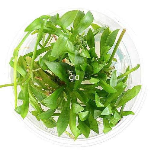 Helanthium Bolivianum Quadricostatus (GLA Tissue Culture)