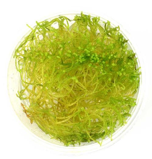 Taxiphyllum Taiwan Moss (GLA Tissue Culture)