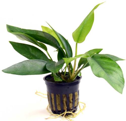 Anubias Nangi (GLA Potted Plant)