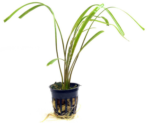 Cryptocoryne Spiralis (GLA Potted Plant)