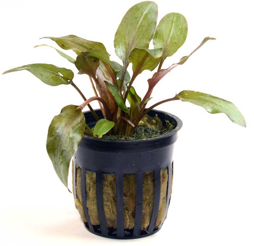 Cryptocoryne Wendtii Mi Oya Red (GLA Potted Plant)