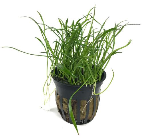 Lilaeopsis Brasiliensis Micro Sword (GLA Potted Plant)