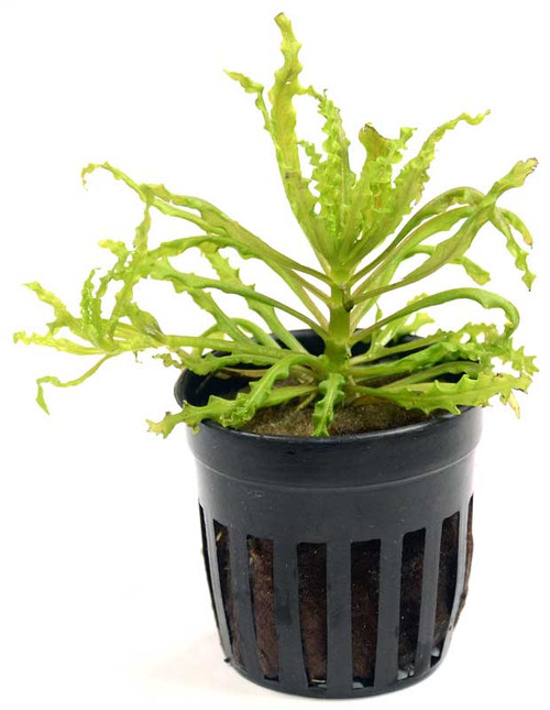 Pogostemon Helferi (GLA Potted Plant)