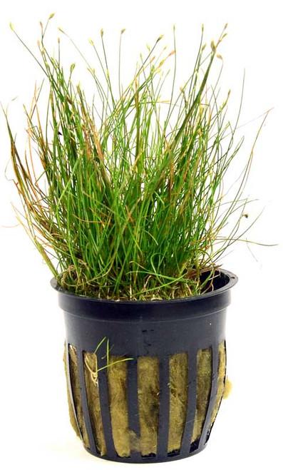 Eleocharis Acicularis Dwarf Hairgrass (GLA Potted Plant)