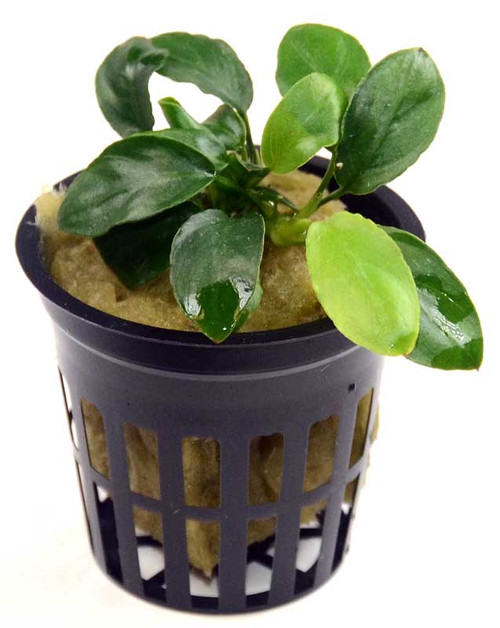 Anubias Nana Paxing Compact (GLA Potted Plant)