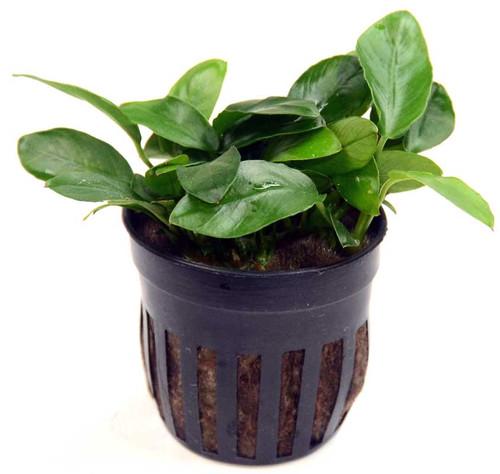 Anubias Nana Paxing (GLA Potted Plant)