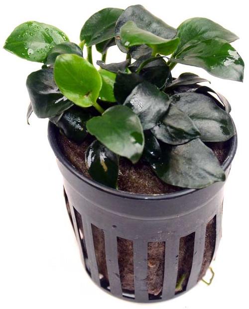 Anubias Barteri Petite Round (GLA Potted Plant)