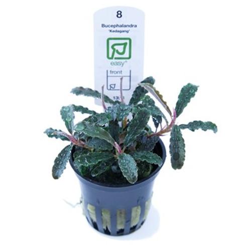 Bucephalandra Kedagang (Tropica Potted Plant)