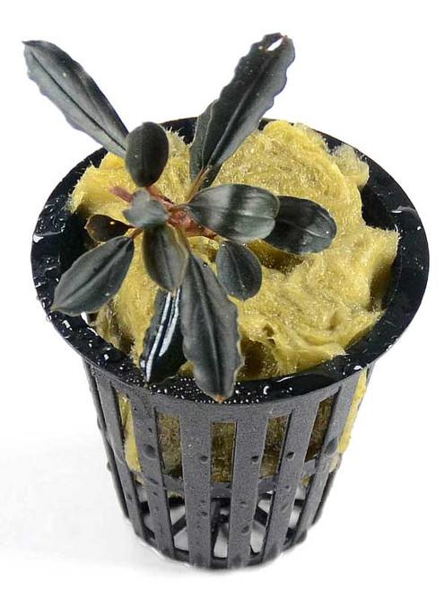 Bucephalandra Kedagang Mini Round (GLA Potted Plant)