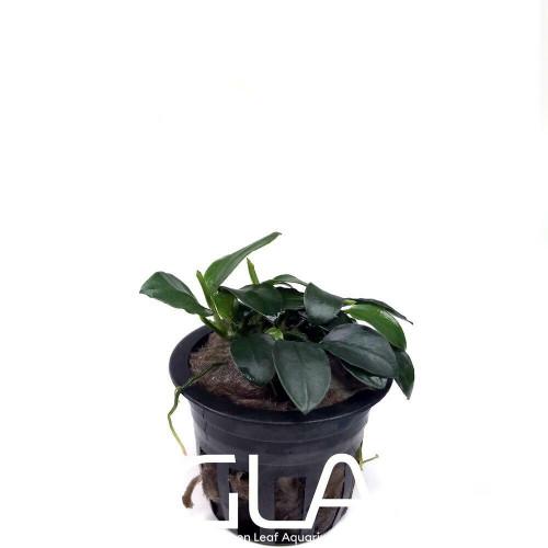 Anubias Nana Petite (GLA Potted Plant)