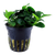 Anubias Barteri Petite (Tropica Potted Plant)