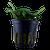 Bucephalandra Pygmaea 'Wavy Green' (Tropica Potted Plant)