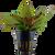 Cryptocoryne Wendtii 'Tropica' (Tropica Potted Plant)