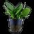 Hygrophila Corymbosa Compact (Tropica Potted Plant)