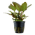 Lagenandra Meeboldii Red (Tropica Potted Plant)