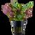 Lobelia Cardinalis (Tropica Potted Plant)