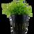 Pogostemon Helferi (Tropica Potted Plant)