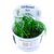 Blyxa Japonica (Tropica Tissue Culture)
