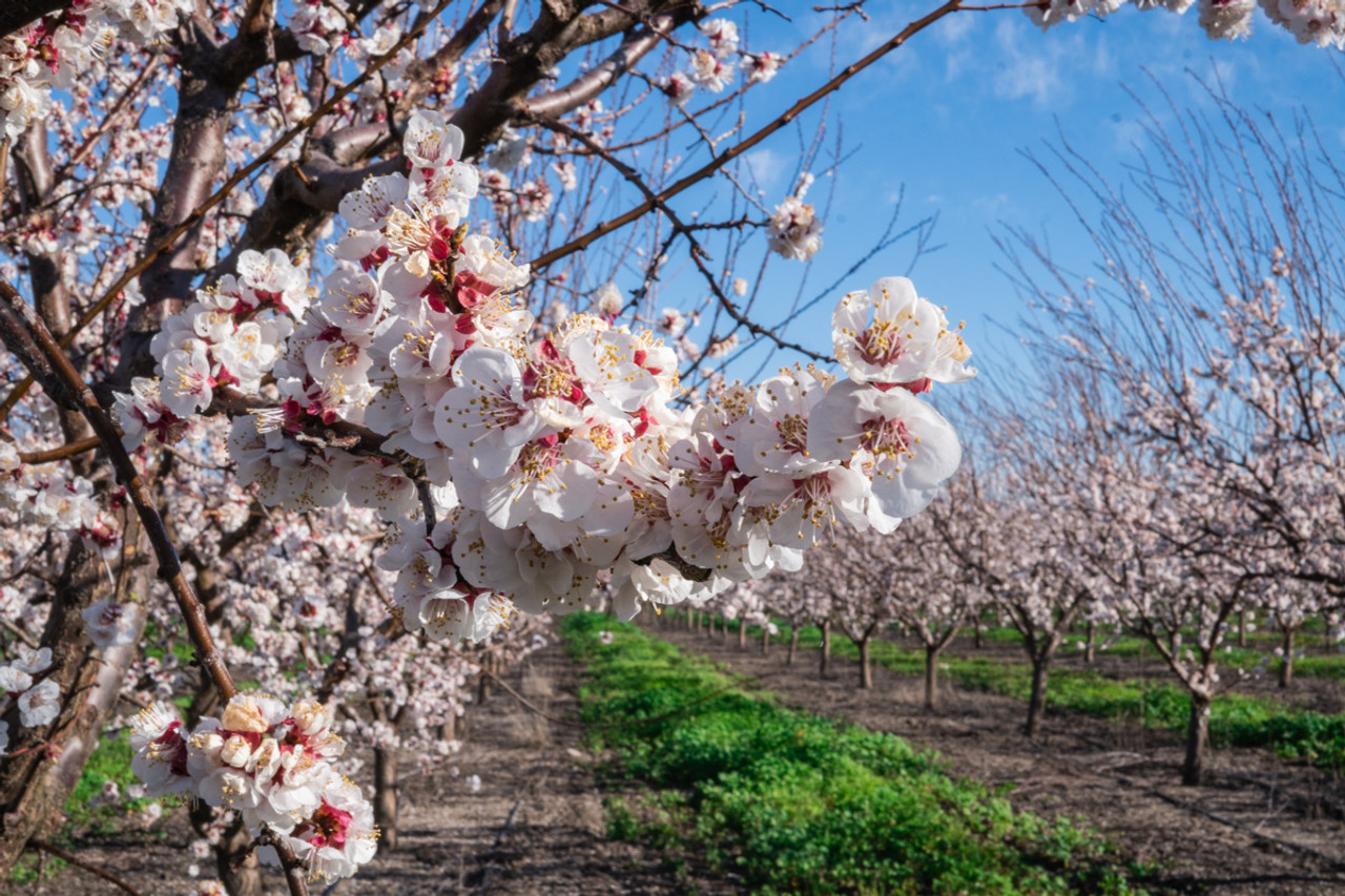 Blenheim Apricot Orchard In Full Bloom! Spring 2019 Blossoms
