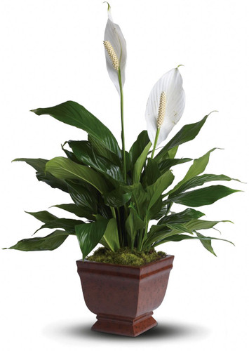 The graceful Peace Lilly spathiphyllum plant with its snowy white flowers is a familiar and reassuring sight in any setting. A gift of beauty that lasts.  Actual container may very.  The Peace Lily Plant is our most popular plant for any occasion. It is an easy to care for green house plant that is appropriate to send for Funerals, Viewings, Sympathy Plant to someone's Home, a Birthday Gift, A Get Well Plant, a Congratulations Plant, or any occasion where you want to present someone with a nice long lasting easy to care for green plant.