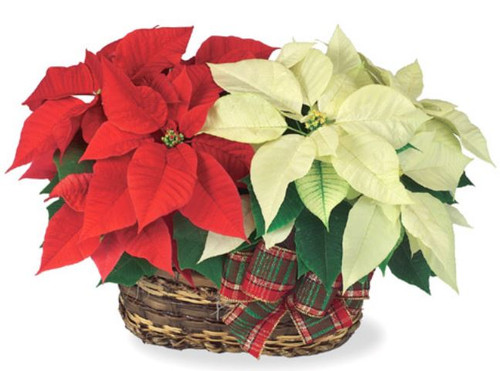 For a great Christmas Splash - Two Long Lasting Poinsettias in a Peanut Basket for an impressive gift that will last all season.  Color choices of Red, Pink, White or mixed can be specified in Special instructions on the order page.